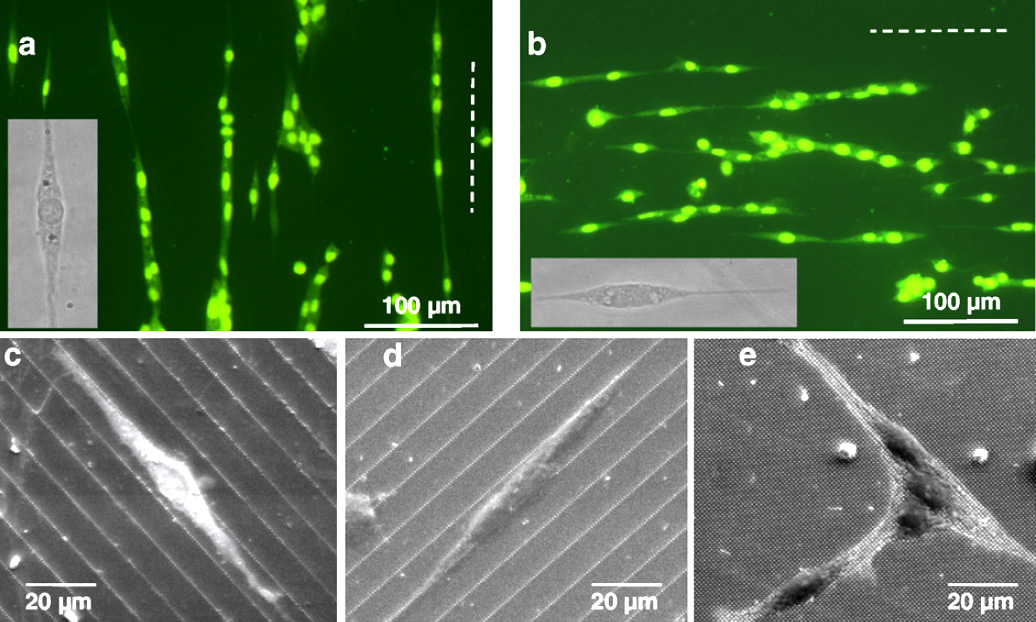 Growth of NSCs on pillar arrays replicated in biocompatible PLLA/PLGA-copolymers. The cells align along the most dense packing of nanopillars.