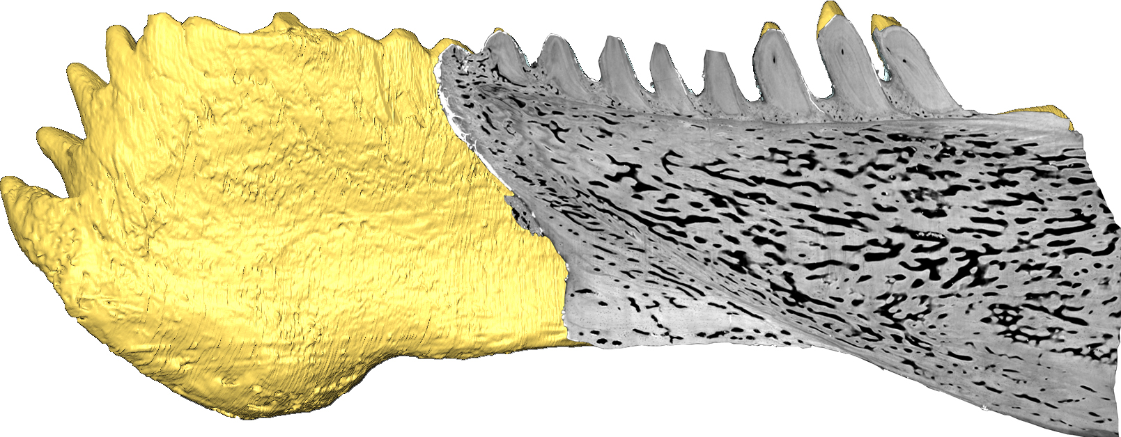 Virtual section through the jaw of Compagopiscis (Martin Rücklin, University of Bristol). <br>All images are for single use only to illustrate this press release and are not to be archived.  Please credit the copyright holder.
