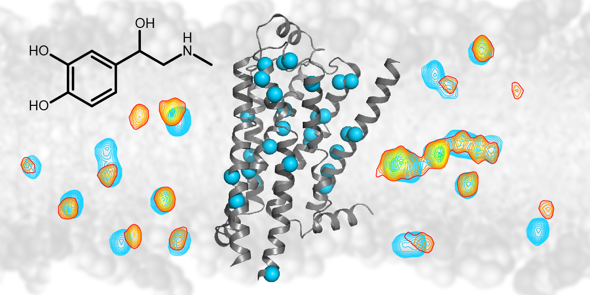 NMR spectroscopy follows drug-induced signaling in the beta-1 adrenergic receptor: The NMR technology detects signals (shown as contour lines) from individual atoms (blue spheres) of the beta-1 adrenergic G protein coupled membrane receptor (grey ribbon diagram). Upon binding of drugs such as adrenalin (black chemical structure) the signals from the atoms change (from blue to yellow/red contours). This change allows the effect of drug binding to be followed throughout the receptor. (Graphics: University of Basel)