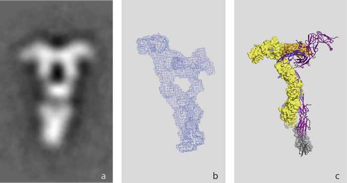 Three images of the same protein molecule (VEGF) taken over a period of eight years with different techniques. Over the years, researchers have been able to produce proteins with ever better quality and thus to deploy ever more refined techniques – yielding increasingly detailed images of the molecule. The image on the left was made eight years ago with an electron microscope , the other two at the Swiss Light Source SLS – the middle image five years ago with small-angle scattering, the one on the right this year with protein crystallography. (Image: Paul Scherrer Institute/Kurt Ballmer-Hofer)