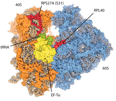 Model of the eukaryotic ribosome (taken from Klinge et al.)