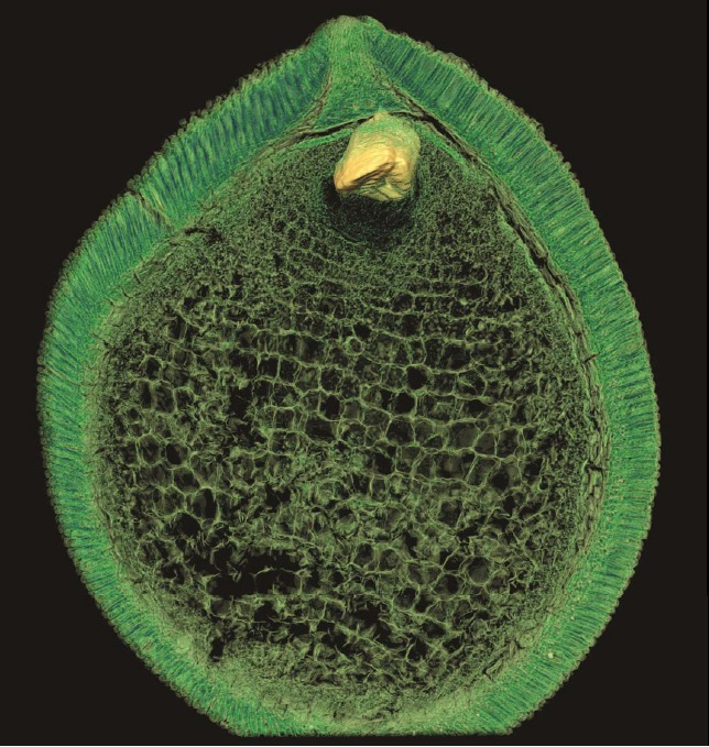 Virtual section through the middle of a seed from the Early Cretaceous exposing embryo and nutrient storage tissue. The tiny embryo shown in 3D has two rudimentary cotyledon primordia documenting the dicotyledonous nature of this extinct angiosperm. The fossil is reconstructed from synchrotron radiation X-ray tomographic microscopy measurements performed at the Tomcat beamline at the Swiss Light Source. Image: Else Marie Friis