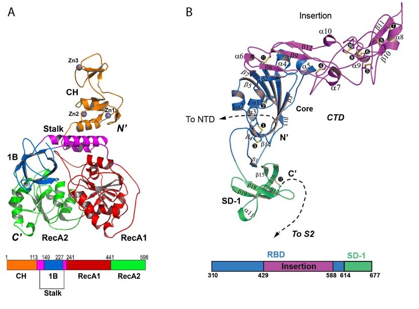 Figure 1. Structures of the MERS coronavirus nsp13 helicase (a) and human betacoronavirus HKU1 protein S1 (b)