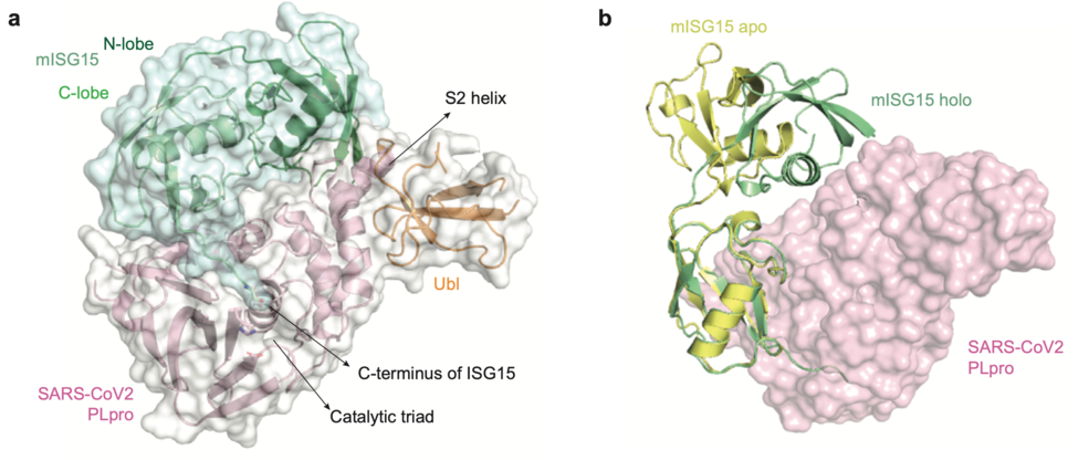 Structural analysis of SARS-CoV-2 PLpro in complex with full length ISG15