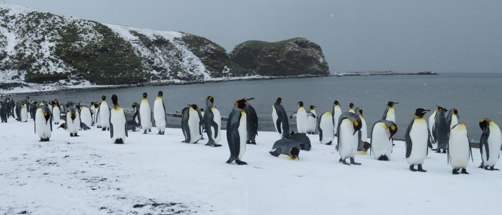 King penguins in St. Andrew's Bay