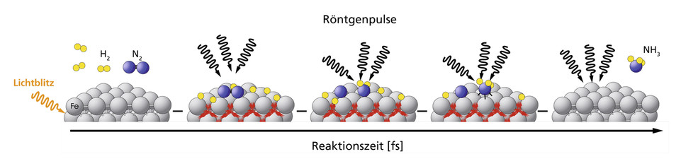 Many processes in nature or industry take place so quickly that it has not yet been possible to record them in detail. The example of ammonia synthesis, in which nitrogen (blue) and hydrogen (yellow) combine to form ammonia with the aid of iron (grey) as a catalyst, shows how this can be achieved at the SwissFEL. The reaction is triggered by a laser pulse. It is then illuminated at different times with SwissFEL X-ray pulses. Thus the current state of the reaction is displayed. The individual reaction steps…