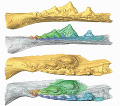 Virtual model of the jaw of a shark ancesto