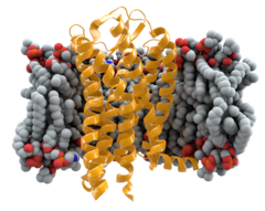 The CCR5 receptor (yellow) spans the cell membrane to relay messages from chemokines into the cell's interior.