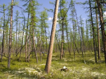 Forest in the study area in Siberia