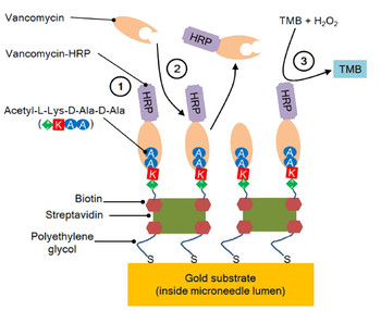 The chemical reaction scheme for the detection of vancomycin in low volume samples inside microneedle lumens. Vancomycin-HRP is pre-loaded to the microneedle surface (1). Vancomycin present in the sample competes for the acetyl-L-lysine-D-alanine-D-alanine binding sites on the microneedle surface and displaces vancomycin-HRP (2). The enzyme-linked TMB assay is used to quantify (in the optofluidic detection chamber/waveguide) the level of bound vancomycin-HRP remaining on the surface (3).