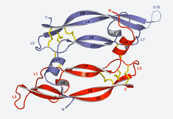 Structure of a VEGF molecule determined with synchrotron light at the SLS.