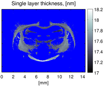 c) The image shows that the thickness of the myelin layer in a rat's brain varies between 17.0 and 18.2 nanometres. Using this new process, these variations can now be demonstrated. This showed that it is now possible to determine the exact thickness of the myelin sheath, which could, in turn, help to determine the relationship between specific disorders and changes in the myelin sheath. (Image: Niels Bohr Institute, Copenhagen)