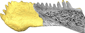 Virtual section through the jaw of Compagopiscis (Martin Rücklin, University of Bristol). All images are for single use only to illustrate this press release and are not to be archived.  Please credit the copyright holder.