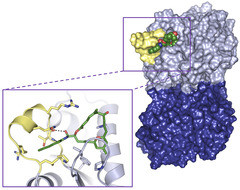 Molecular structures revealed in detail: the tubulin molecule (picture on the right) is composed of two subunits (light- and dark blue). A molecule of the anticancer agent Zampanolide (green) sticks deep inside the binding pocket (see image on the left for molecular details) and stabilises a section of the tubulin molecule (yellow) into a particular shape. This stabilisation strengthens the cohesion between tubulin subunits in the microtubules.