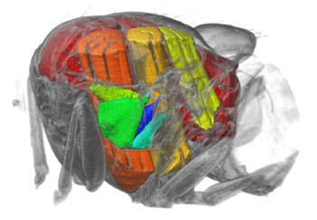 Cutaway visualization of the thorax showing the five steering muscles analysed (green to blue) and the power muscles (yellow to red)