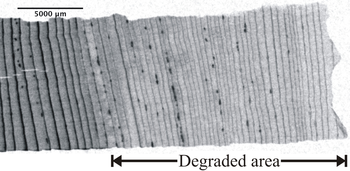 Figure 1: Section of a partially degraded soft-wood sample in a neutron transmission image. The 500-year-old sample originates from an excavation near Dachstein (Austria) [6].